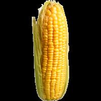 épi(s) de maïs