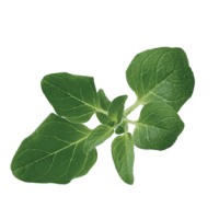 bouquet d'origan
